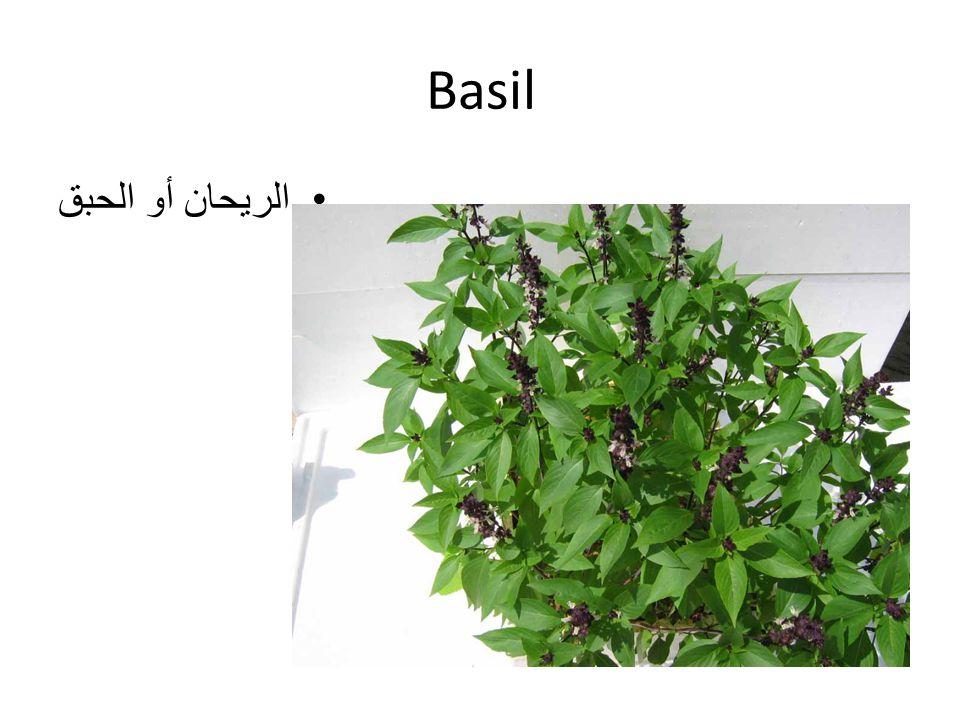 Basil الريحان أو الحبق