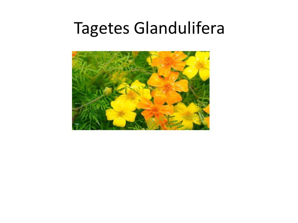 Tagetes Glandulifera