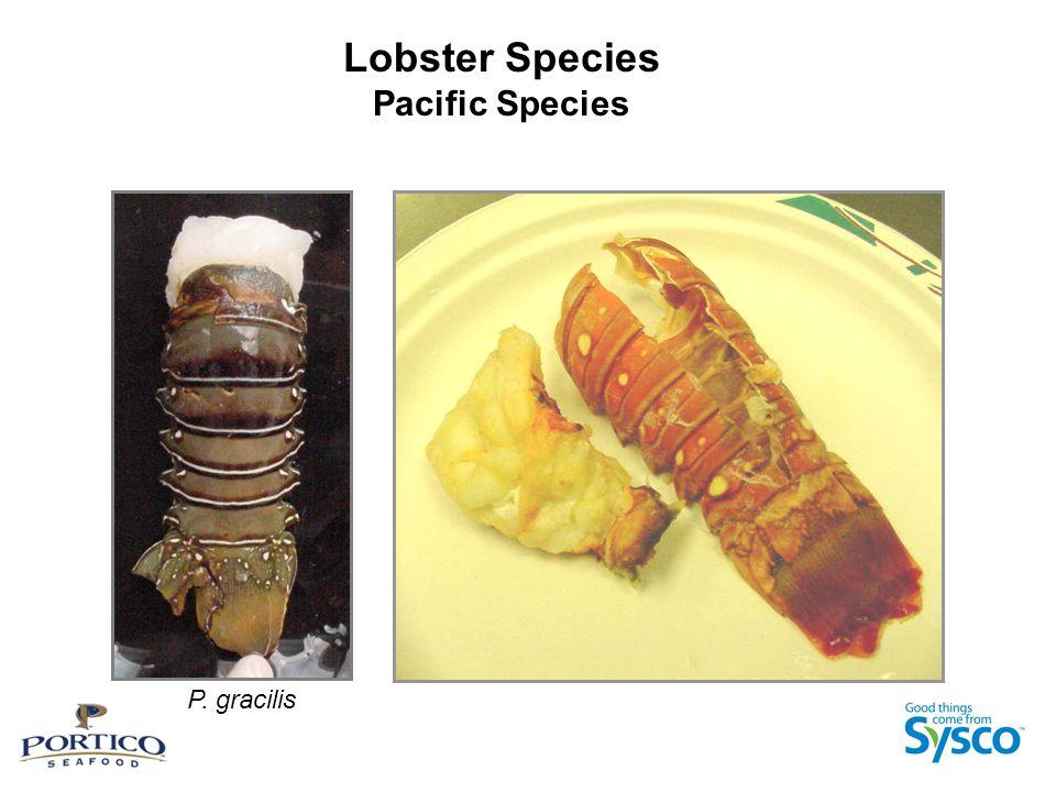 Lobster Species Pacific Species P. gracilis