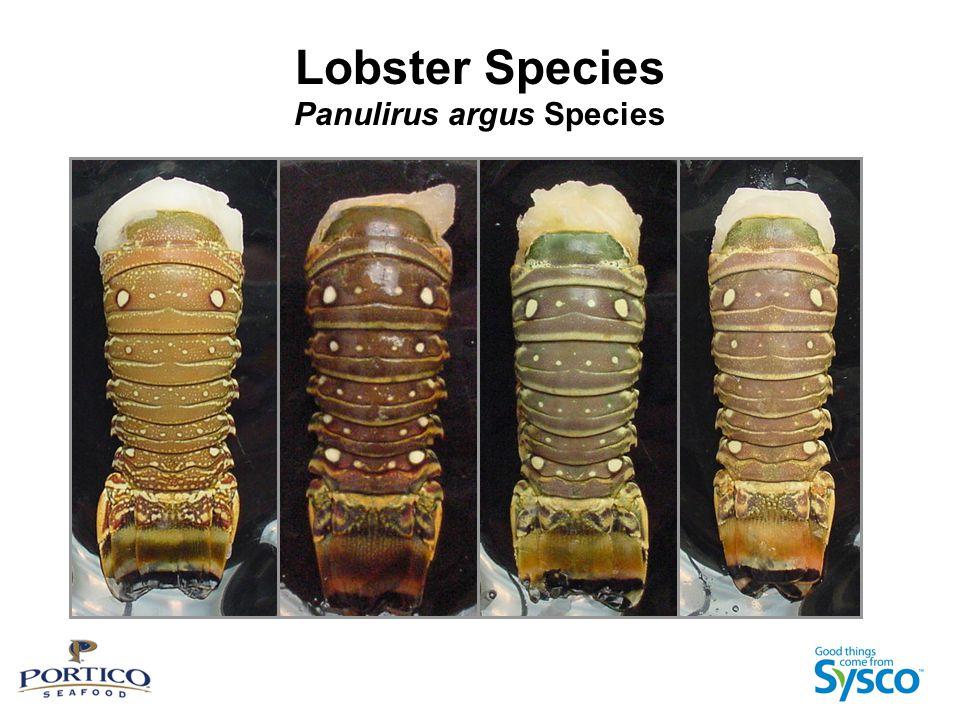 Lobster Species Panulirus argus Species