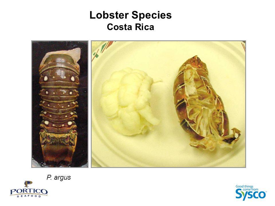 Lobster Species Costa Rica P. argus