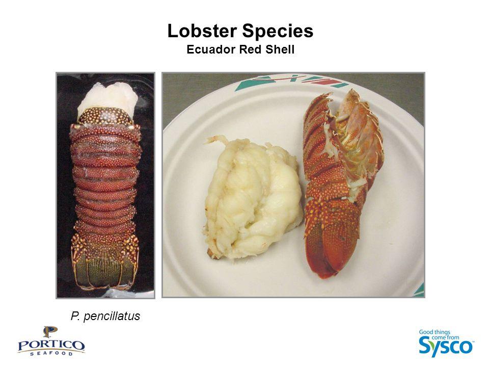 Lobster Species Ecuador Red Shell P. pencillatus