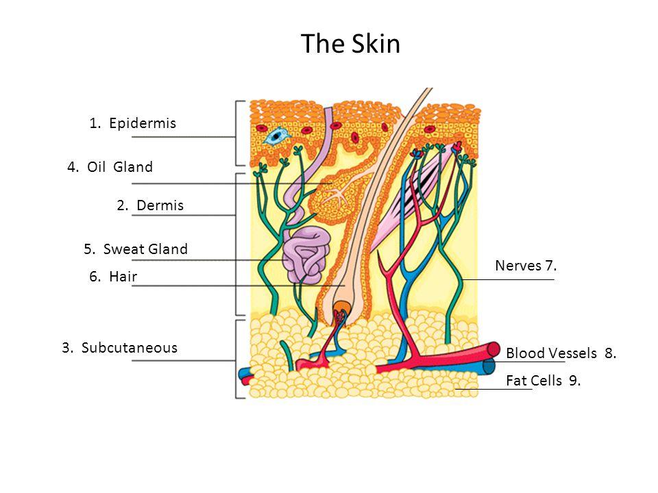 The Skin 1. Epidermis 2. Dermis 3. Subcutaneous 5.