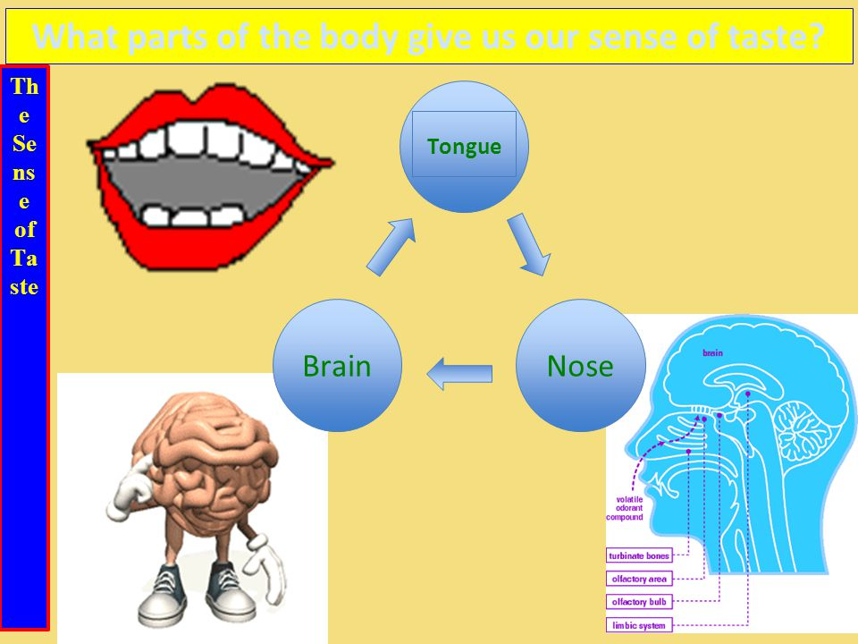 Th e Se ns e of Ta ste What parts of the body give us our sense of taste? Tongue BrainNose