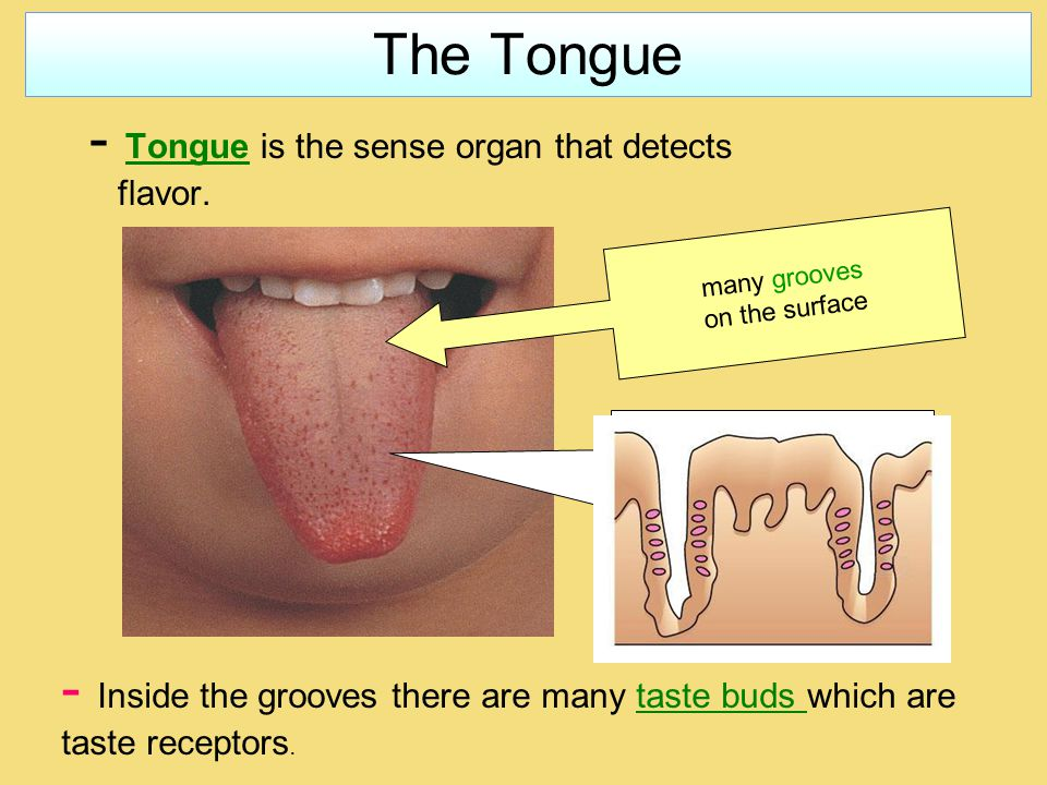 The Tongue - Tongue is the sense organ that detects flavor.