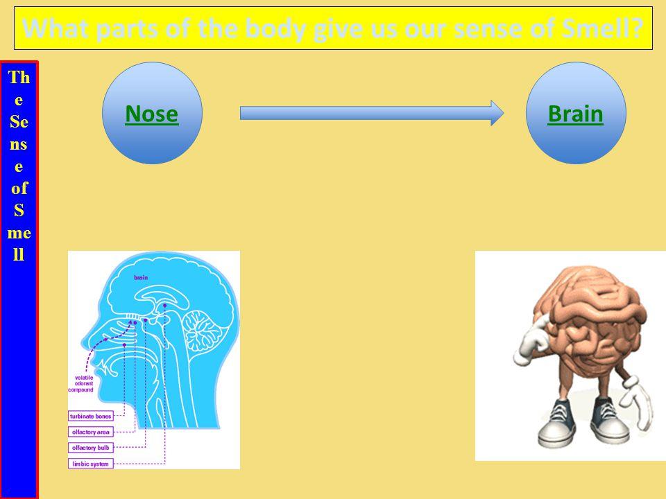 Th e Se ns e of S me ll What parts of the body give us our sense of Smell NoseBrain