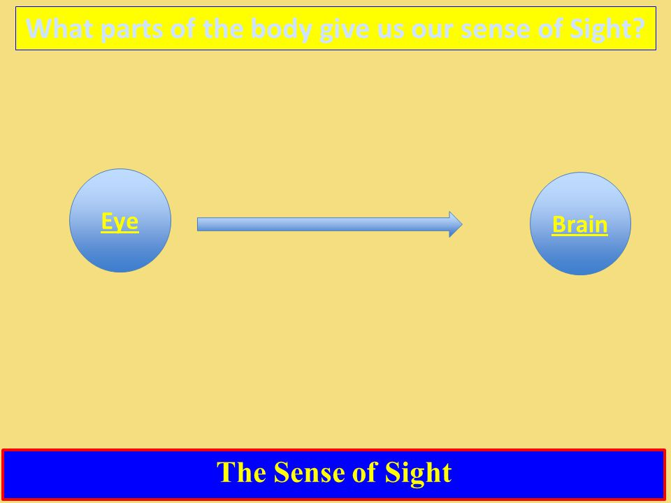 The Sense of Sight What parts of the body give us our sense of Sight Eye Brain