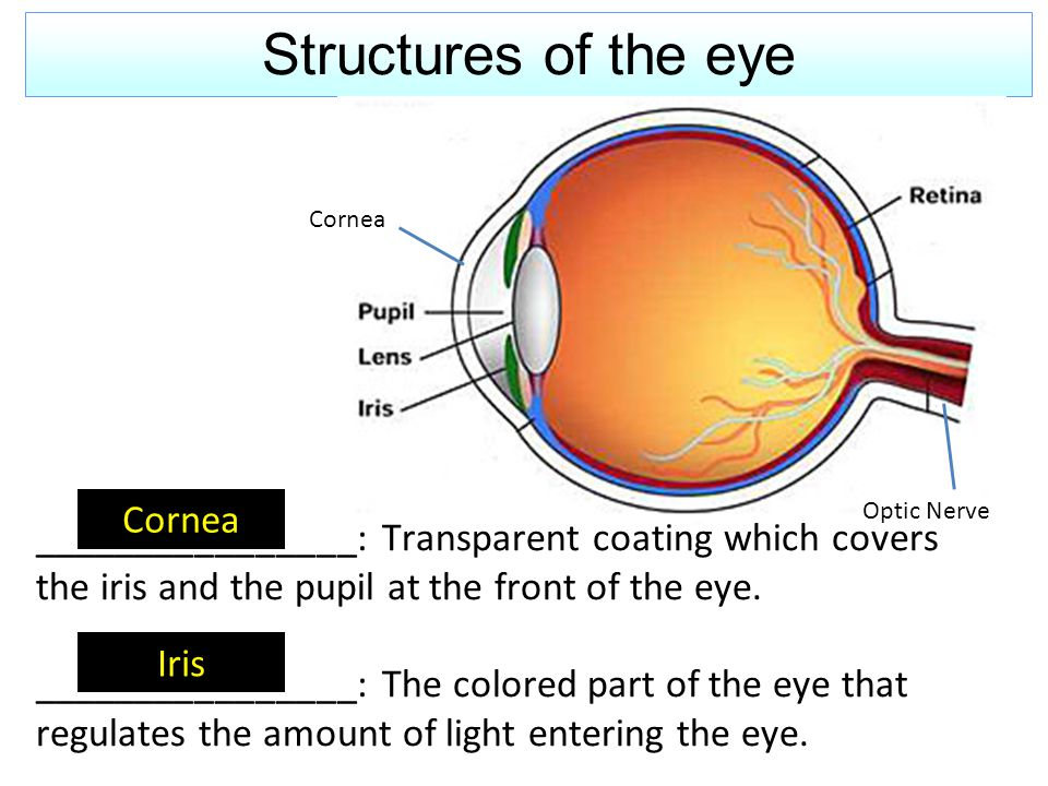 Structures of the eye Cornea Iris Cornea Optic Nerve ________________: Transparent coating which covers the iris and the pupil at the front of the eye.