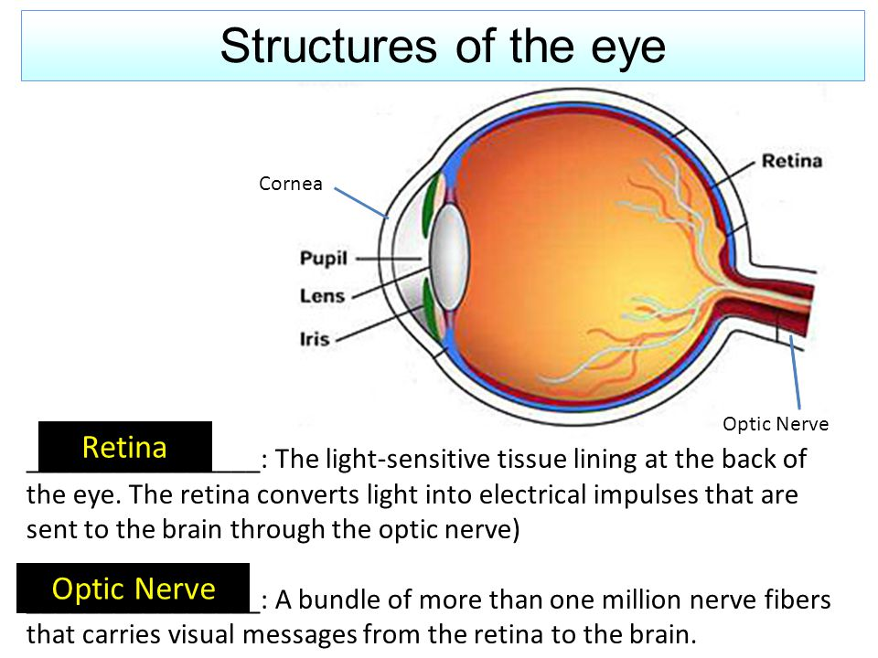 ________________: The light-sensitive tissue lining at the back of the eye. The retina converts light into electrical impulses that are sent to the br