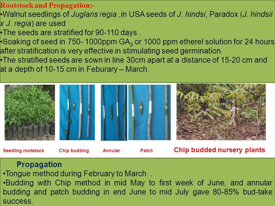 Rootstock and Propagation:- Walnut seedlings of Juglans regia,in USA seeds of J.