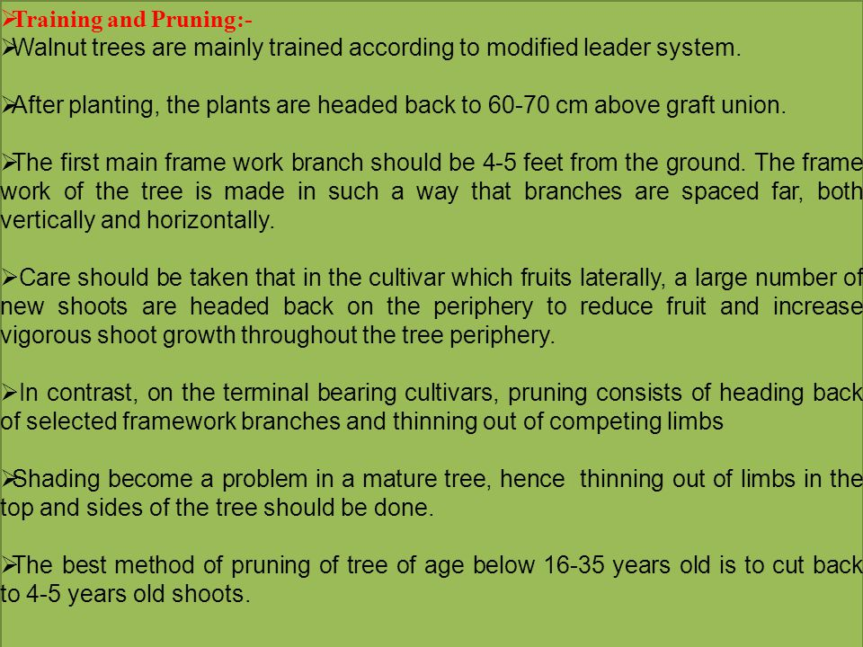  Training and Pruning:-  Walnut trees are mainly trained according to modified leader system.