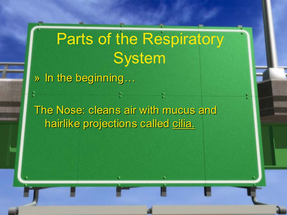 Parts of the Respiratory System »In the beginning… The Nose: cleans air with mucus and hairlike projections called cilia.