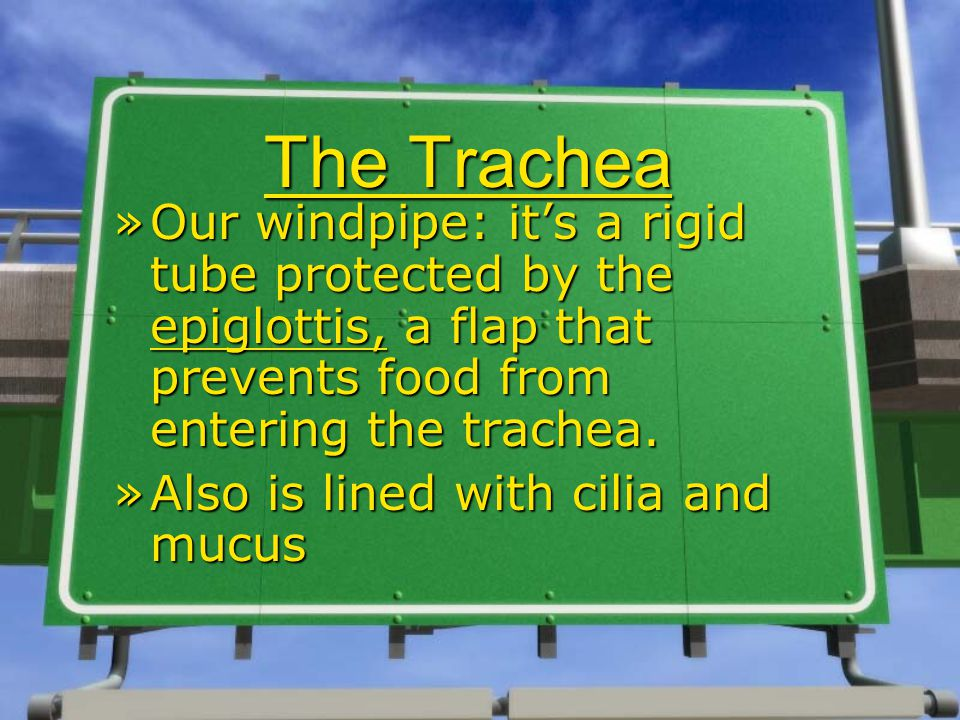 The Trachea »Our windpipe: it's a rigid tube protected by the epiglottis,a flap that prevents food from entering the trachea.