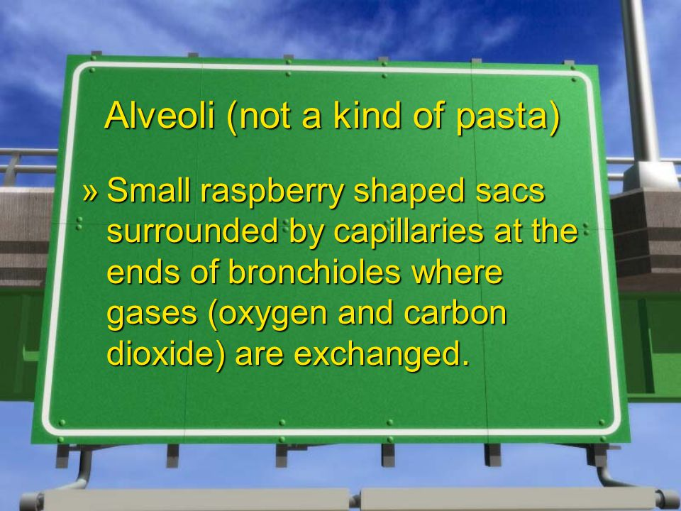 Alveoli (not a kind of pasta) »Small raspberry shaped sacs surrounded by capillaries at the ends of bronchioles where gases (oxygen and carbon dioxide) are exchanged.