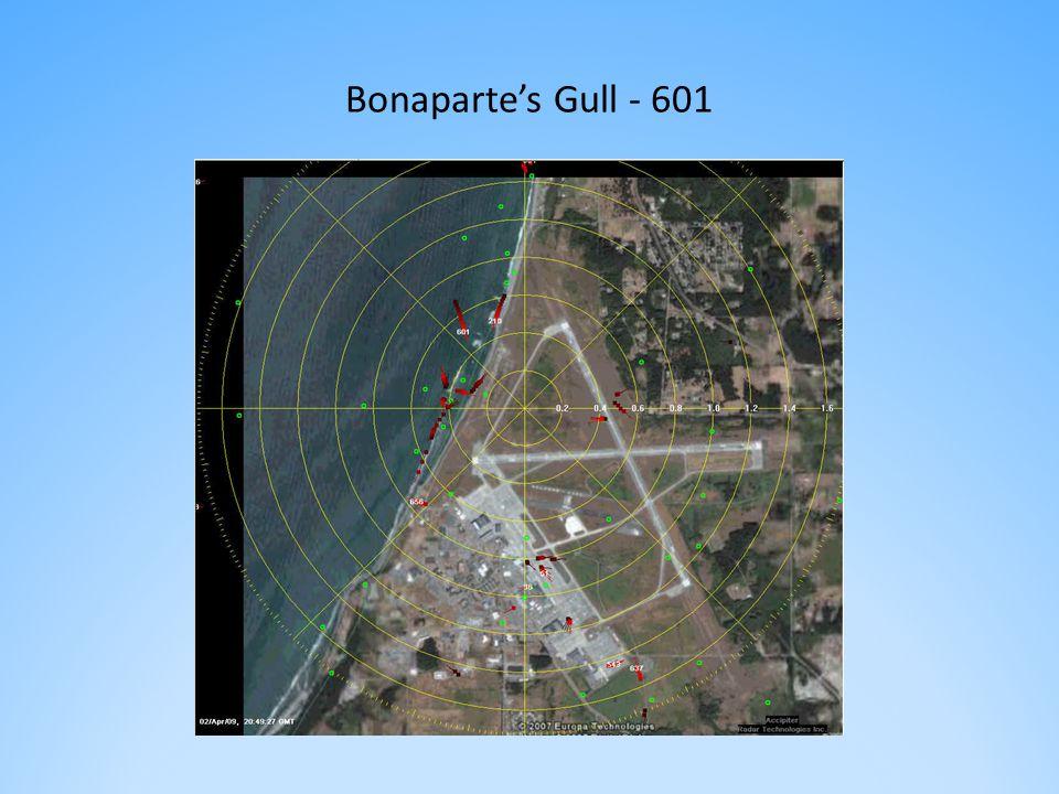 Bonaparte's Gull - 601