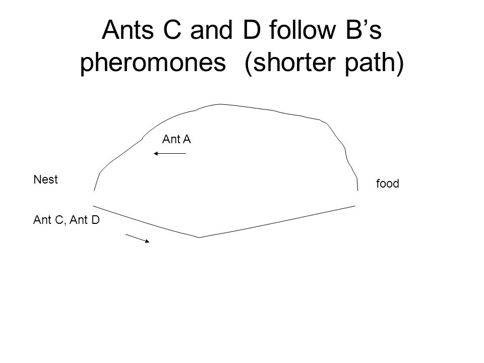 Ants C and D follow B's pheromones (shorter path) Nest food Ant A Ant C, Ant D