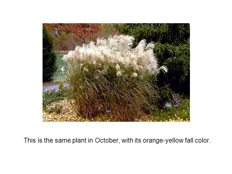This is the same plant in October, with its orange-yellow fall color.