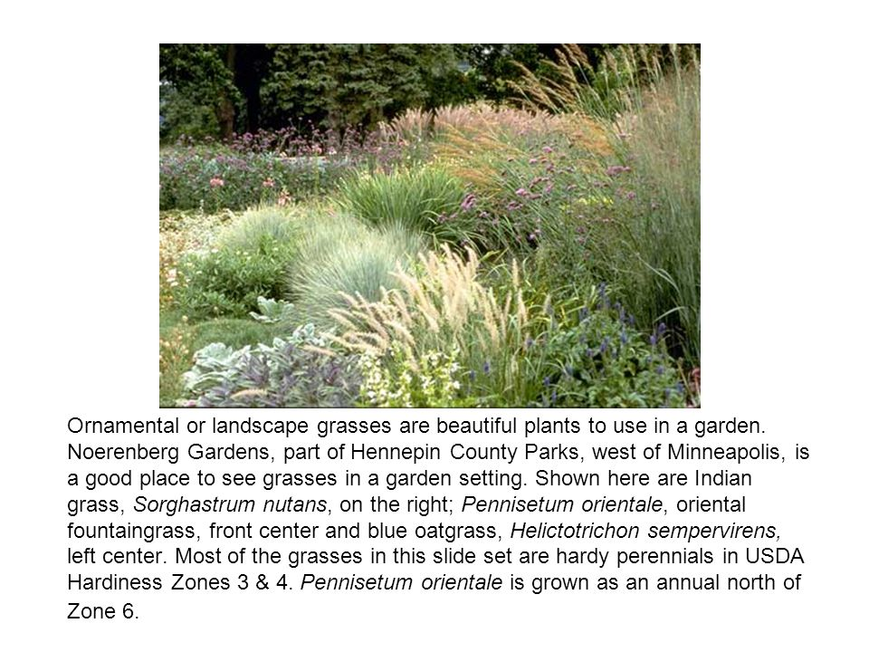 Ornamental or landscape grasses are beautiful plants to use in a garden.