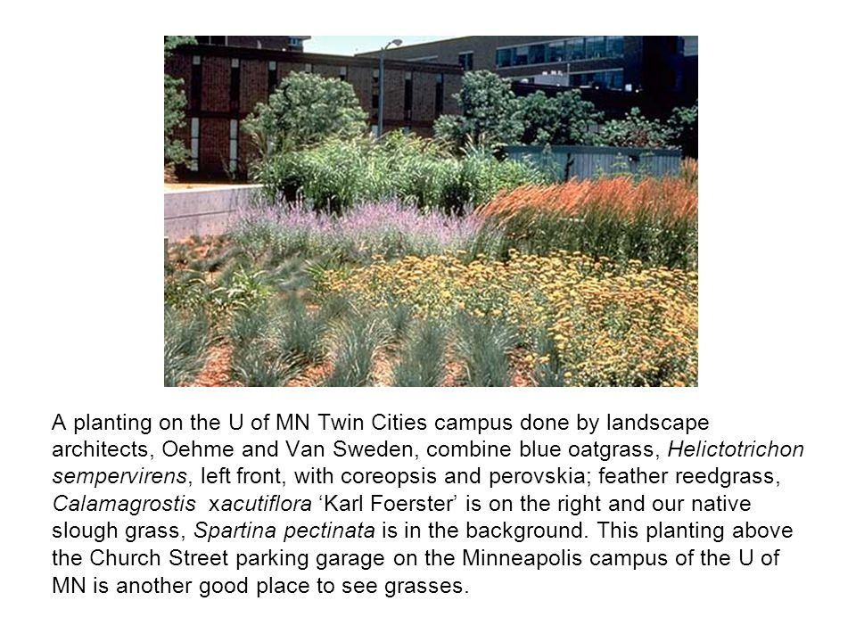 A planting on the U of MN Twin Cities campus done by landscape architects, Oehme and Van Sweden, combine blue oatgrass, Helictotrichon sempervirens, left front, with coreopsis and perovskia; feather reedgrass, Calamagrostis xacutiflora 'Karl Foerster' is on the right and our native slough grass, Spartina pectinata is in the background.