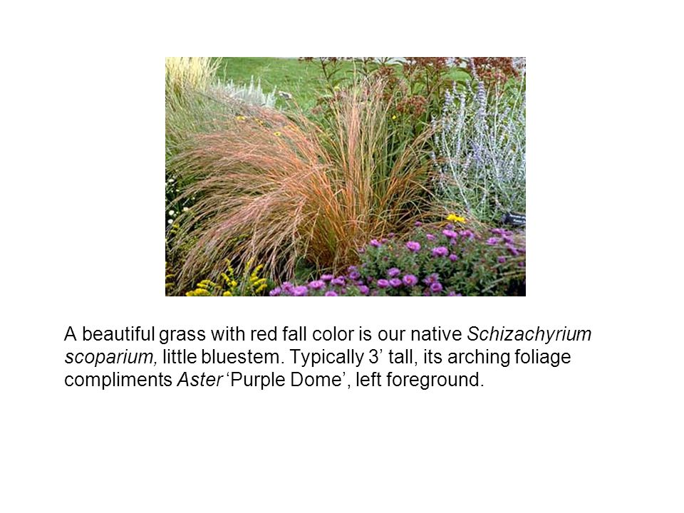 A beautiful grass with red fall color is our native Schizachyrium scoparium, little bluestem.