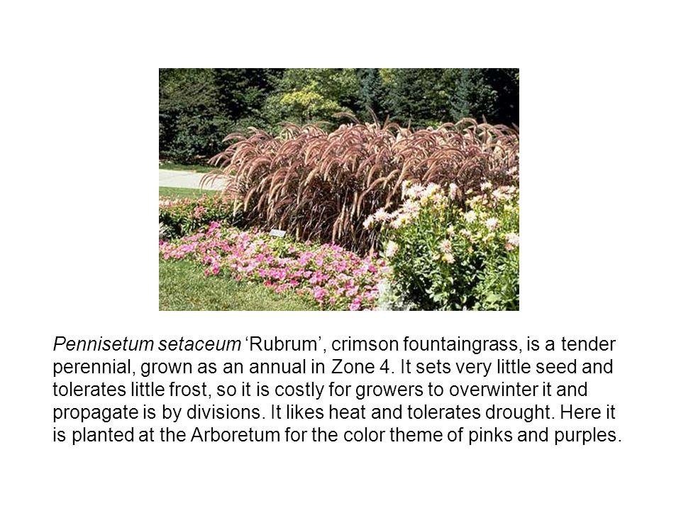 Pennisetum setaceum 'Rubrum', crimson fountaingrass, is a tender perennial, grown as an annual in Zone 4.