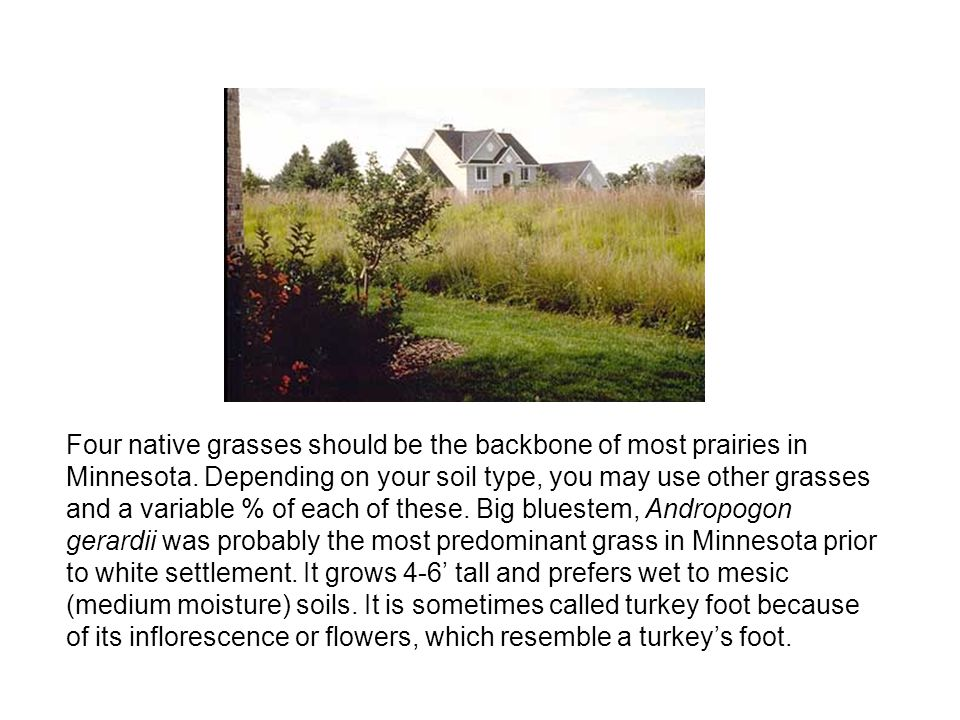 Four native grasses should be the backbone of most prairies in Minnesota. Depending on your soil type, you may use other grasses and a variable % of e