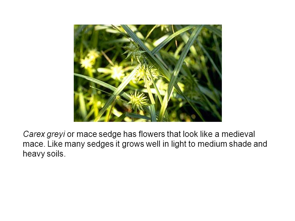 Carex greyi or mace sedge has flowers that look like a medieval mace.