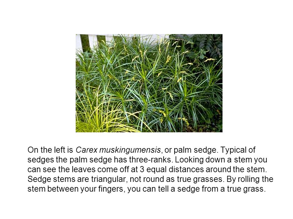 On the left is Carex muskingumensis, or palm sedge.
