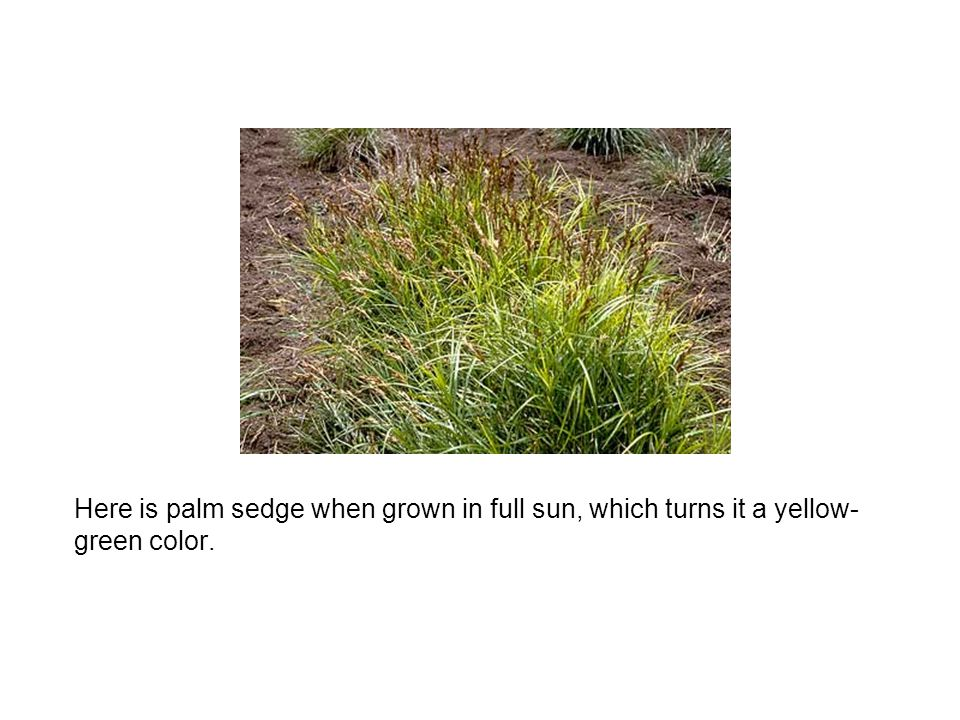 Here is palm sedge when grown in full sun, which turns it a yellow- green color.
