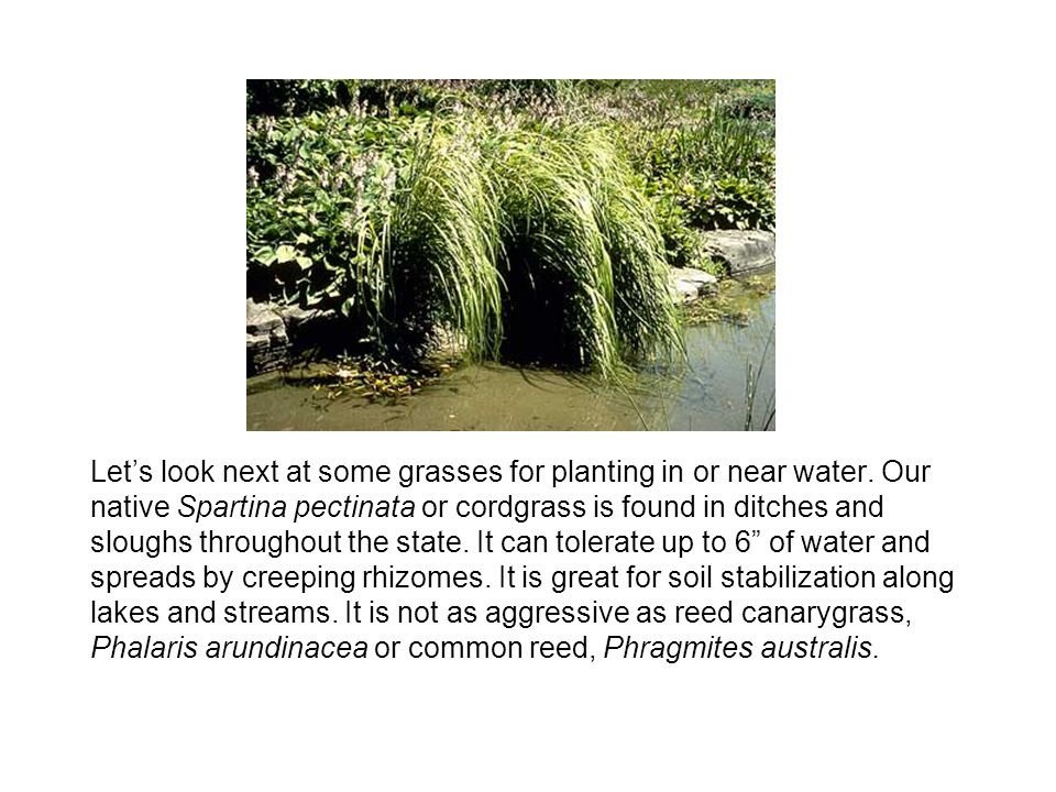 Let's look next at some grasses for planting in or near water.