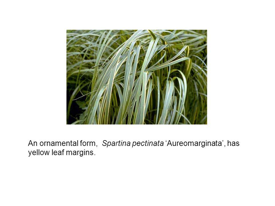 An ornamental form, Spartina pectinata 'Aureomarginata', has yellow leaf margins.