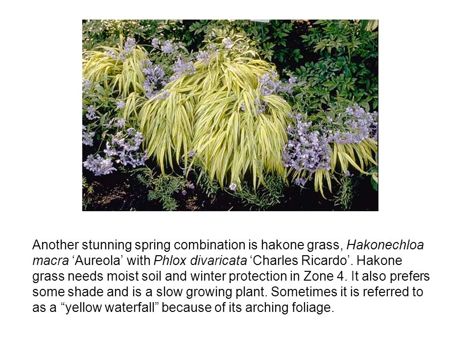 Another stunning spring combination is hakone grass, Hakonechloa macra 'Aureola' with Phlox divaricata 'Charles Ricardo'.
