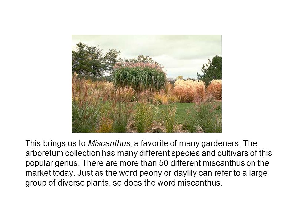 This brings us to Miscanthus, a favorite of many gardeners. The arboretum collection has many different species and cultivars of this popular genus. T