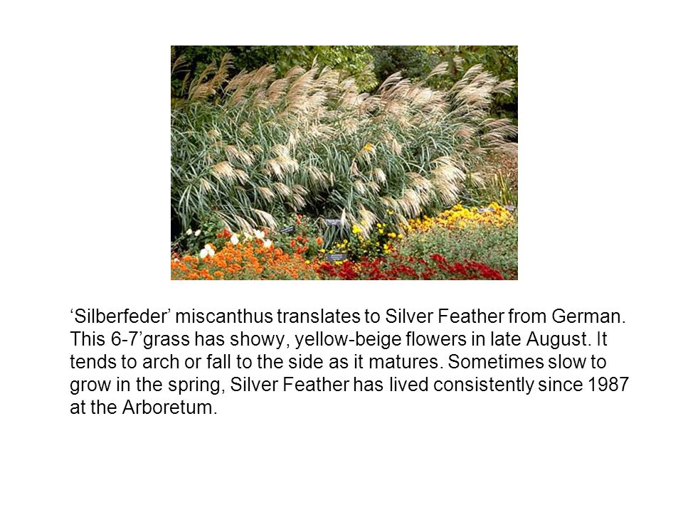 'Silberfeder' miscanthus translates to Silver Feather from German.