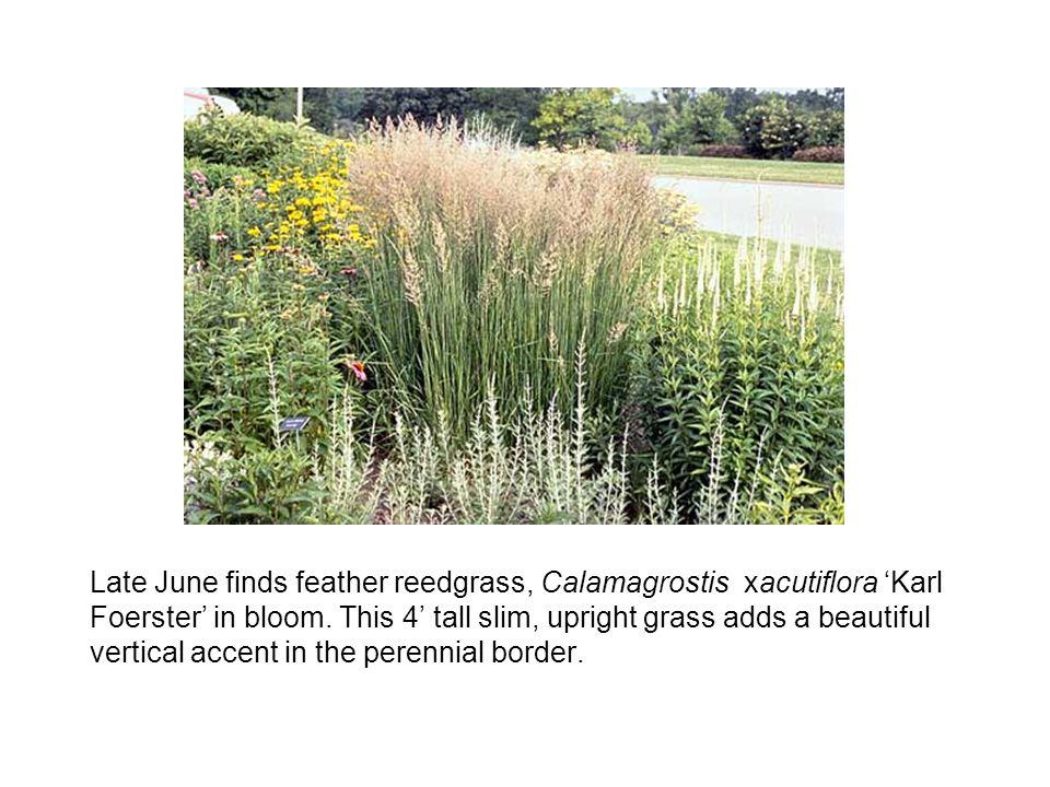 Late June finds feather reedgrass, Calamagrostis xacutiflora 'Karl Foerster' in bloom.