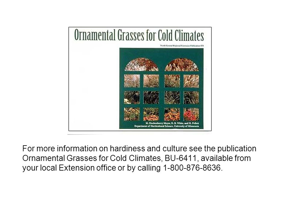 For more information on hardiness and culture see the publication Ornamental Grasses for Cold Climates, BU-6411, available from your local Extension office or by calling 1-800-876-8636.