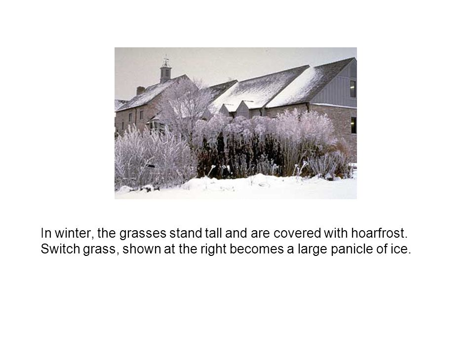 In winter, the grasses stand tall and are covered with hoarfrost. Switch grass, shown at the right becomes a large panicle of ice.