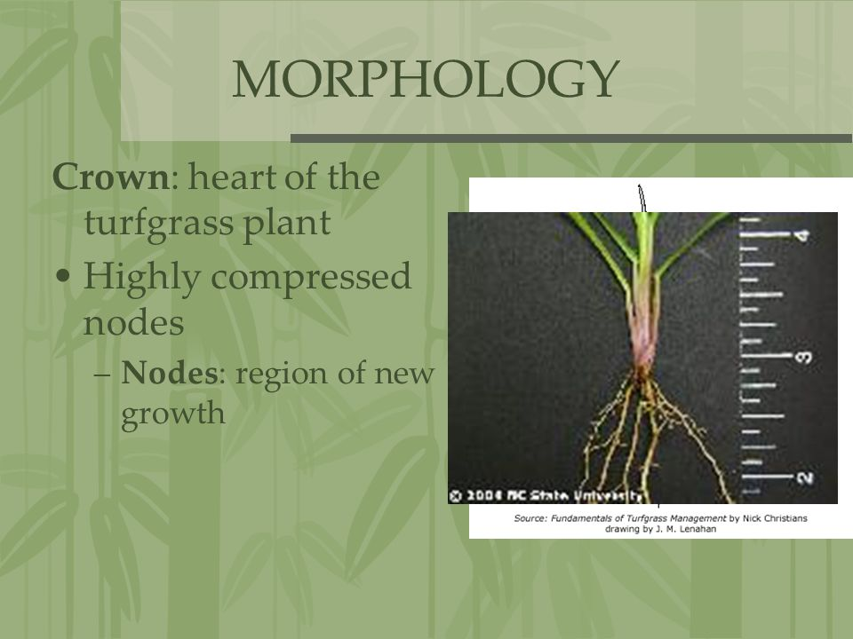 MORPHOLOGY Crown: heart of the turfgrass plant Highly compressed nodes –Nodes: region of new growth