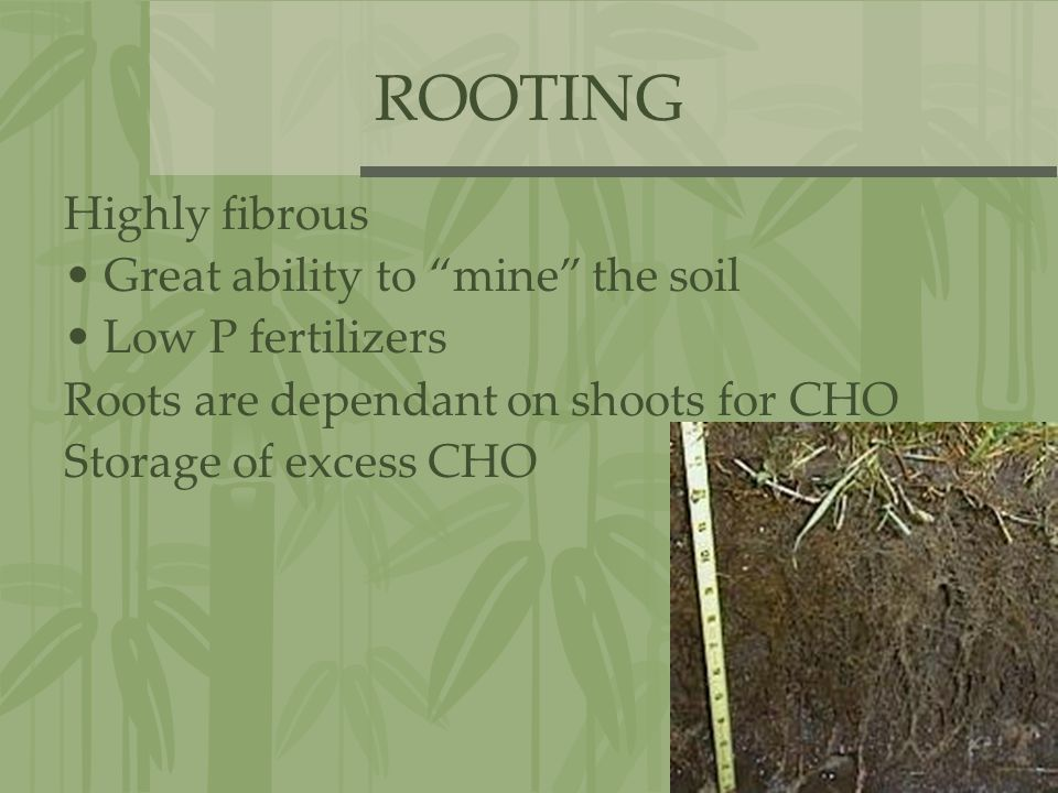 "ROOTING Highly fibrous Great ability to ""mine"" the soil Low P fertilizers Roots are dependant on shoots for CHO Storage of excess CHO"