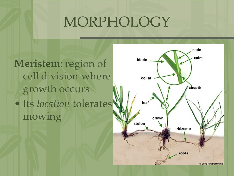 MORPHOLOGY Meristem: region of cell division where growth occurs Its location tolerates mowing