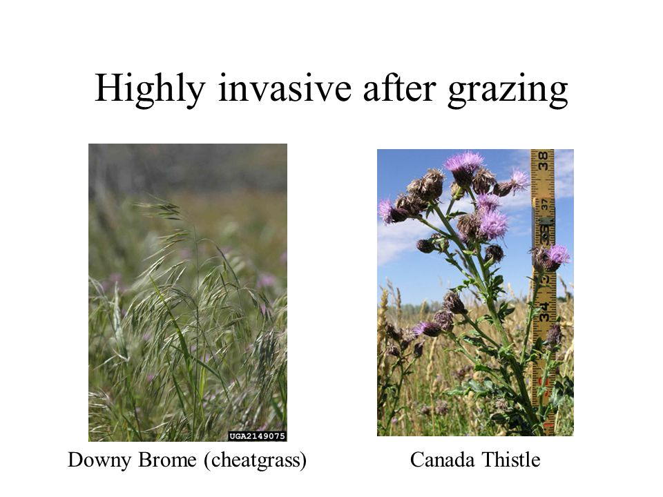 Highly invasive after grazing Downy Brome (cheatgrass) Canada Thistle