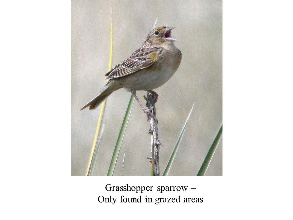 Grasshopper sparrow – Only found in grazed areas