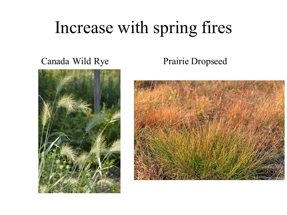 Increase with spring fires Canada Wild RyePrairie Dropseed