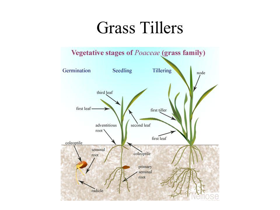 Grass Tillers
