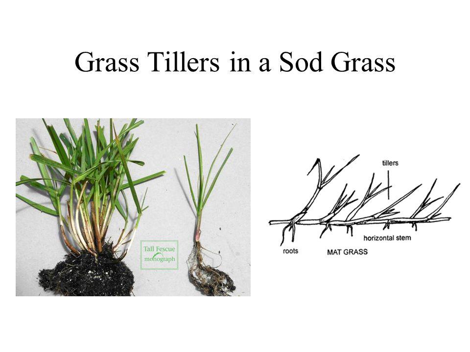 Grass Tillers in a Sod Grass