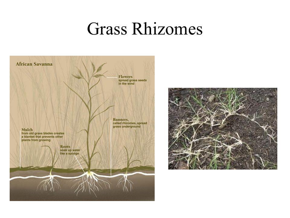 Grass Rhizomes