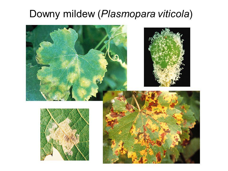 Downy mildew (Plasmopara viticola)