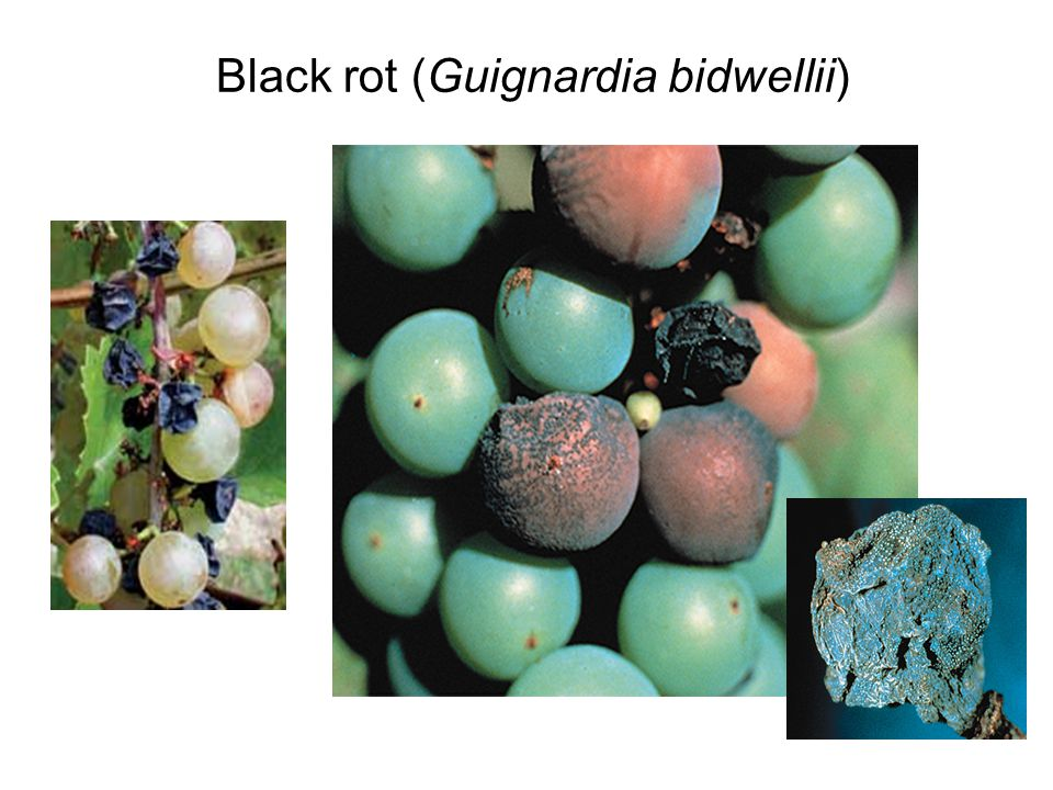 Black rot (Guignardia bidwellii)