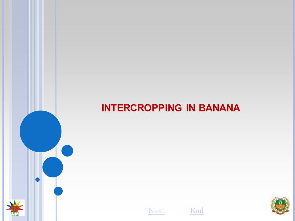 INTERCROPPING IN BANANA NextEnd