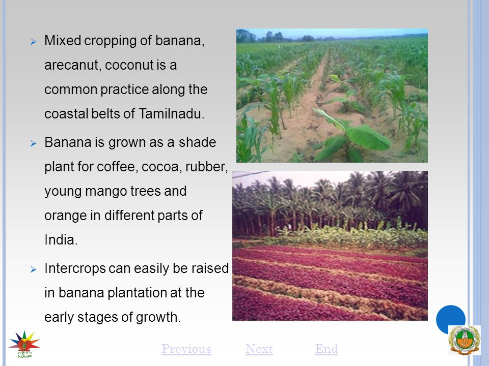  Mixed cropping of banana, arecanut, coconut is a common practice along the coastal belts of Tamilnadu.